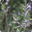 Red Fescue (Festuca rubra) 1 gram
