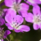 Wood Crane's-bill (Geranium sylvaticum) plug plants