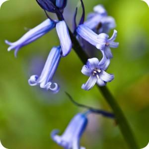 Scottish Bluebell (Hyacinthoides non-scripta) bulbs