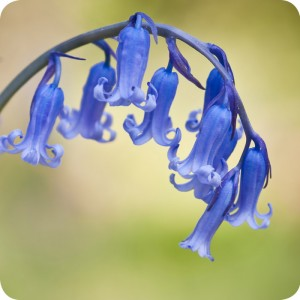 English Bluebell (Hyacinthoides non-scripta) bulbs IN THE GREEN