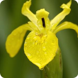 Yellow Flag (Iris pseudacorus) plug plants