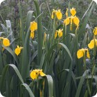 Yellow Flag (Iris pseudacorus) plug plants