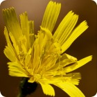 Autumn Hawkbit (Leontodon autumnalis) 7cm Plant Pot