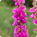 Purple Loosestrife (Lythrum salicaria) plug plants