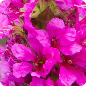 Purple Loosestrife (Lythrum salicaria) plug plants