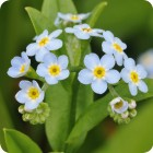Water Forget-me-not (Myosotis scorpioides) plug plants