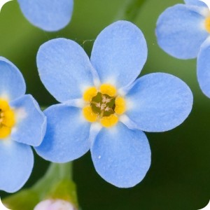 Wood Forget-me-not (Myosotis sylvatica) plug plants
