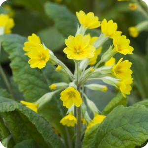 Cowslip(Primula veris) plug plants