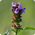 Self-heal	(Prunella vulgaris) plug plants
