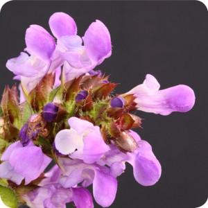 Self-heal(Prunella vulgaris) plug plants