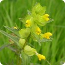 Yellow Rattle (Rhinanthus minor) Partially cleaned.