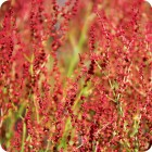 Sheep's Sorrel (Rumex acetosella) plug plants