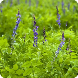Tufted Vetch	(Vicia cracca) plug plants