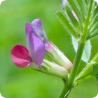 Common Vetch (Vicia sativa) plug plants