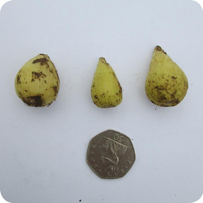 English Bluebell (Hyacinthoides non-scripta) bulbs