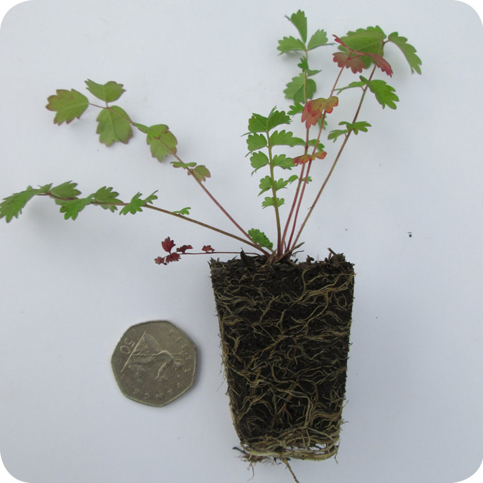 Salad Burnet (Poterium minor) plug plants