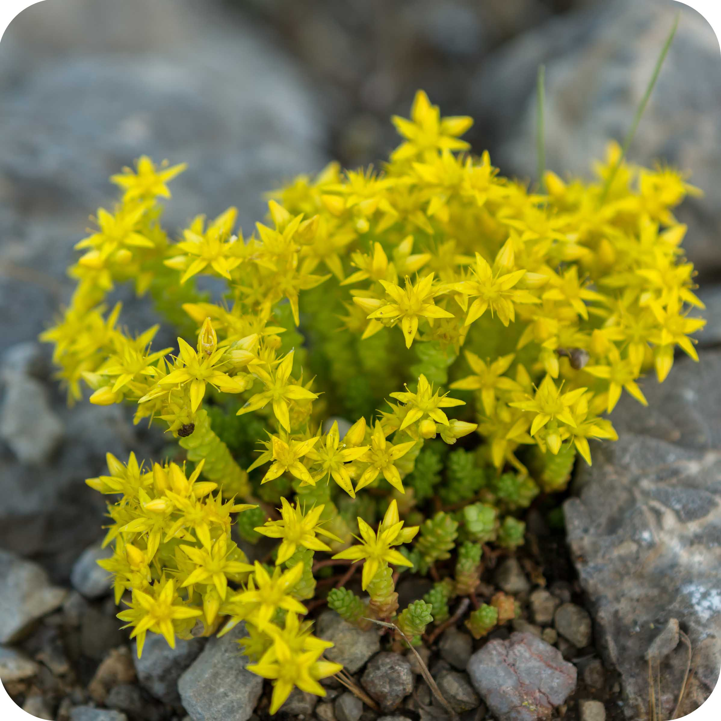 Biting Stonecrop (Sedum acre) plug plants
