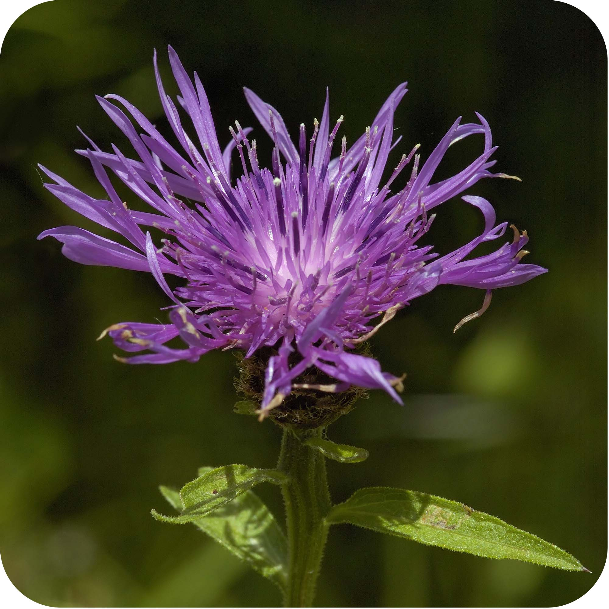 Black Knapweed (Centaurea nigra) Large Plugs