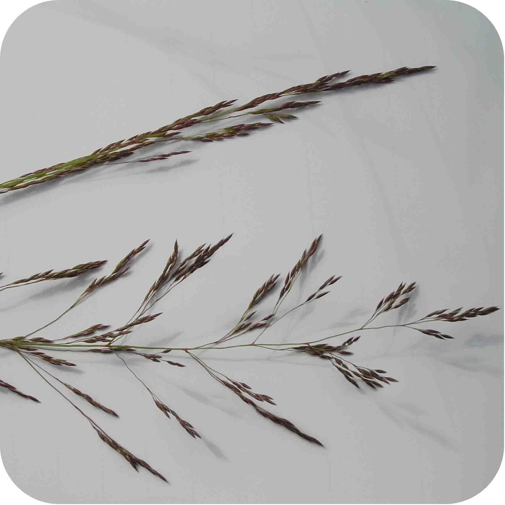 Common Bent (Agrostis capillaris)