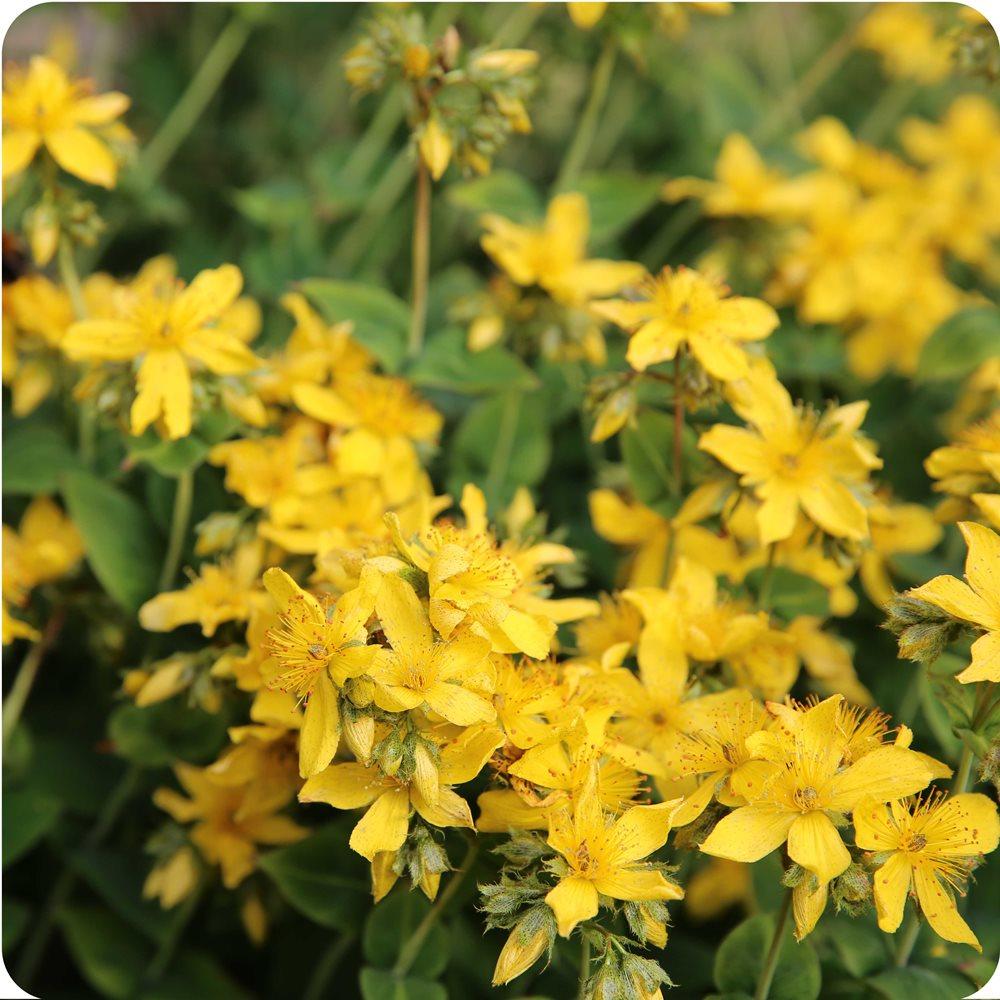 Agrimony (Agrimonia eupatoria) plug plants