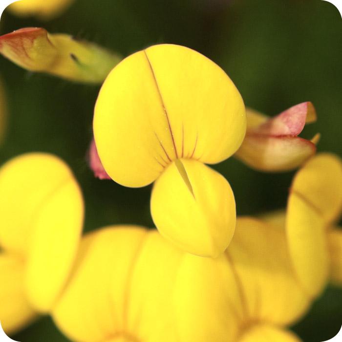 Bird's-foot Trefoil (Lotus corniculatus) plug plants