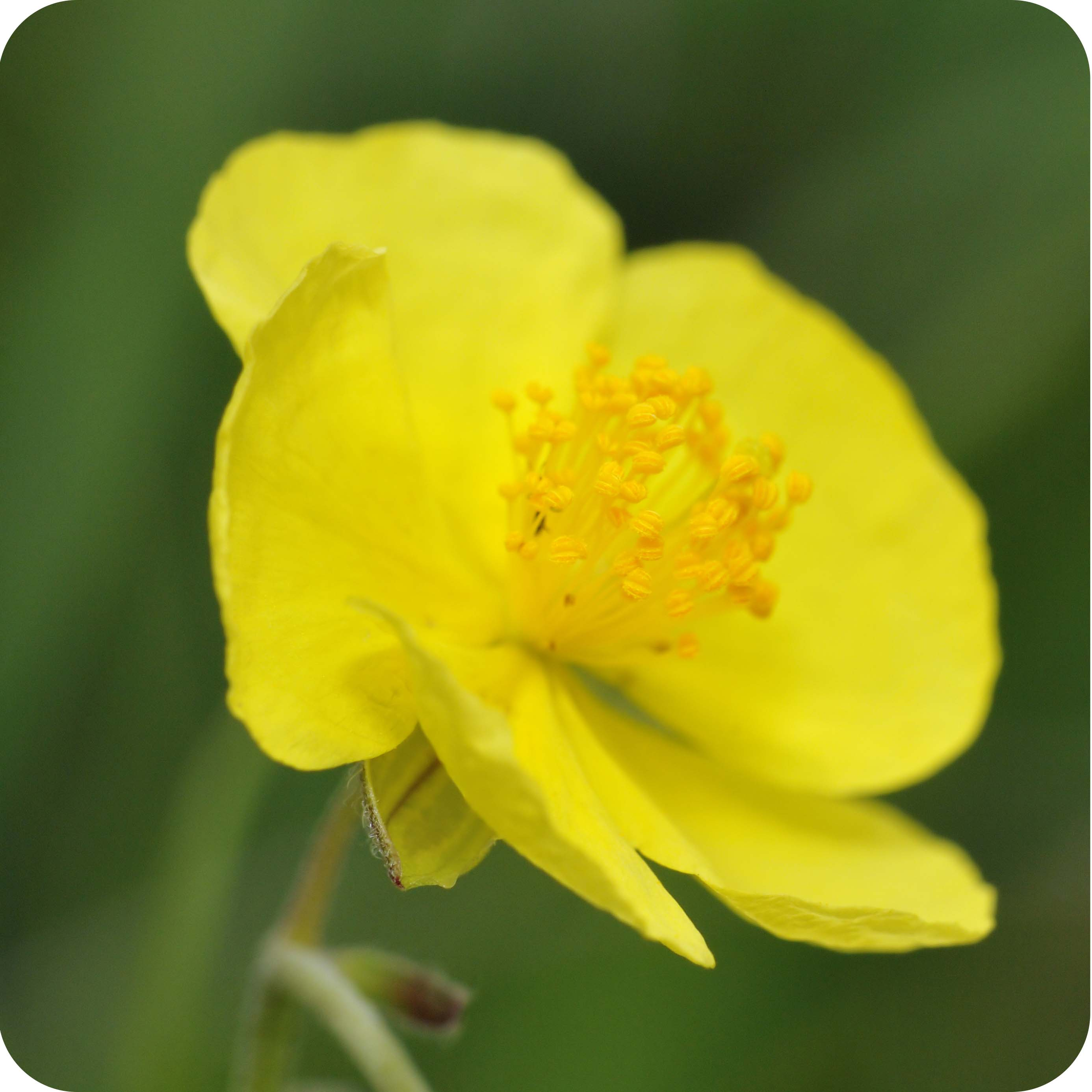 Common Rock-rose (Helianthemum nummularium) plug plants