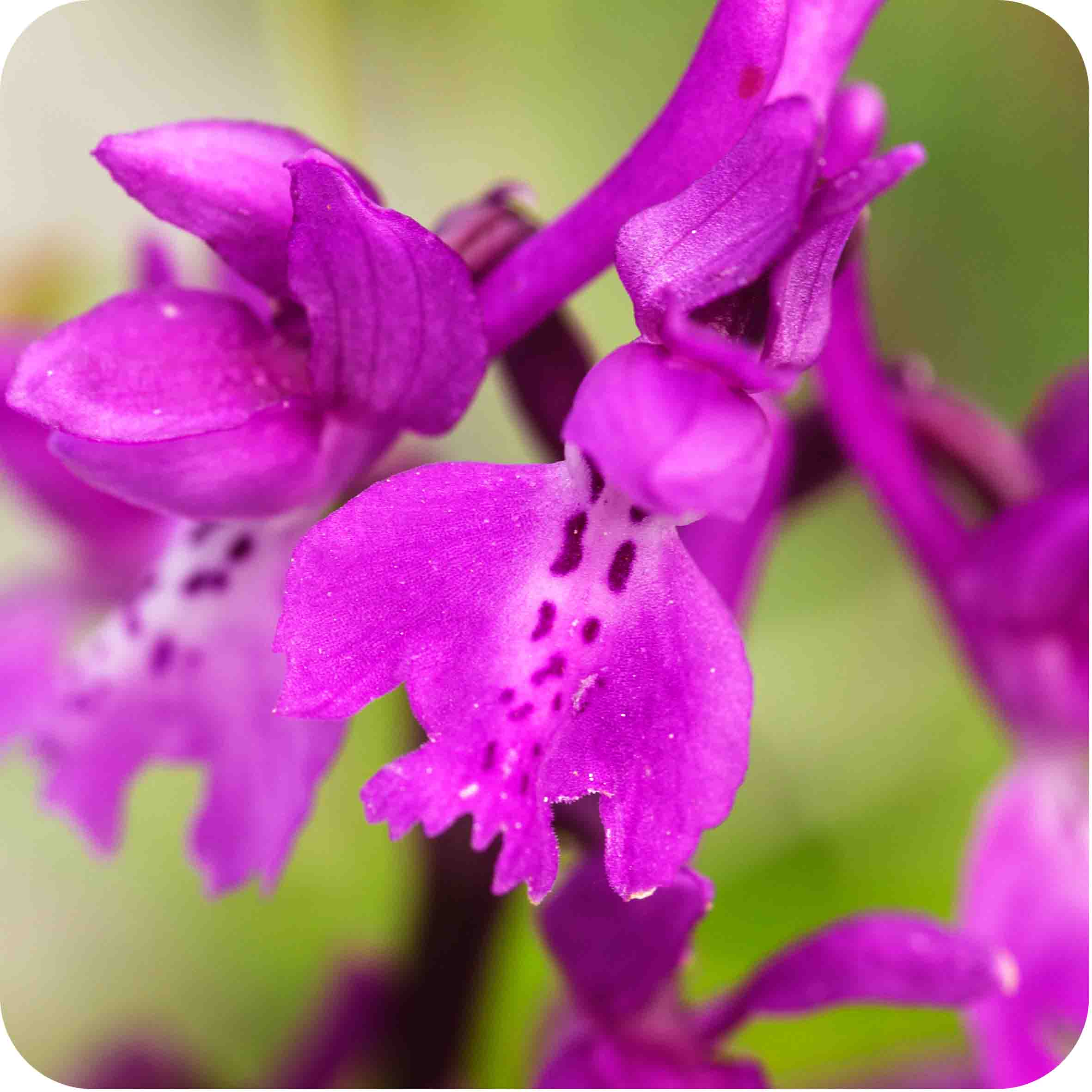 Early-purple Orchid (Orchis mascula) plug plants