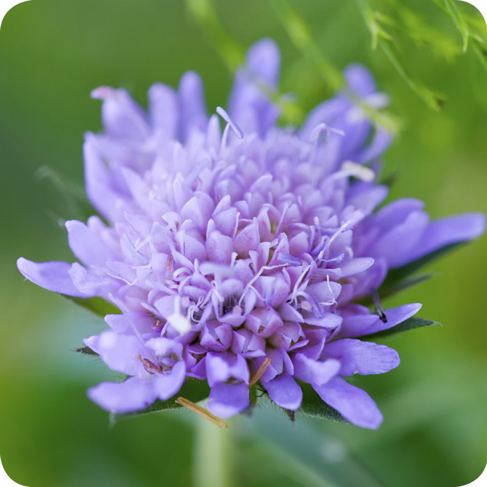 Field Scabious (Knautia arvensis) Large Plugs