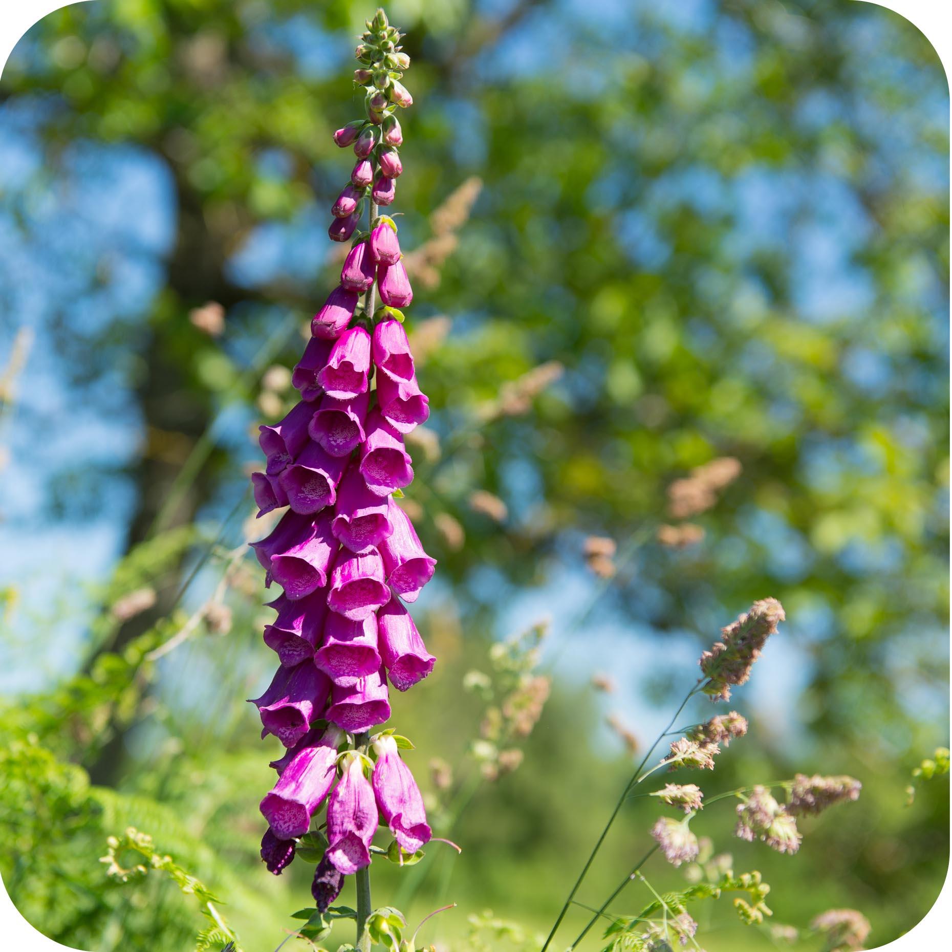 Foxglove (Digitalis purpurea) plug plants