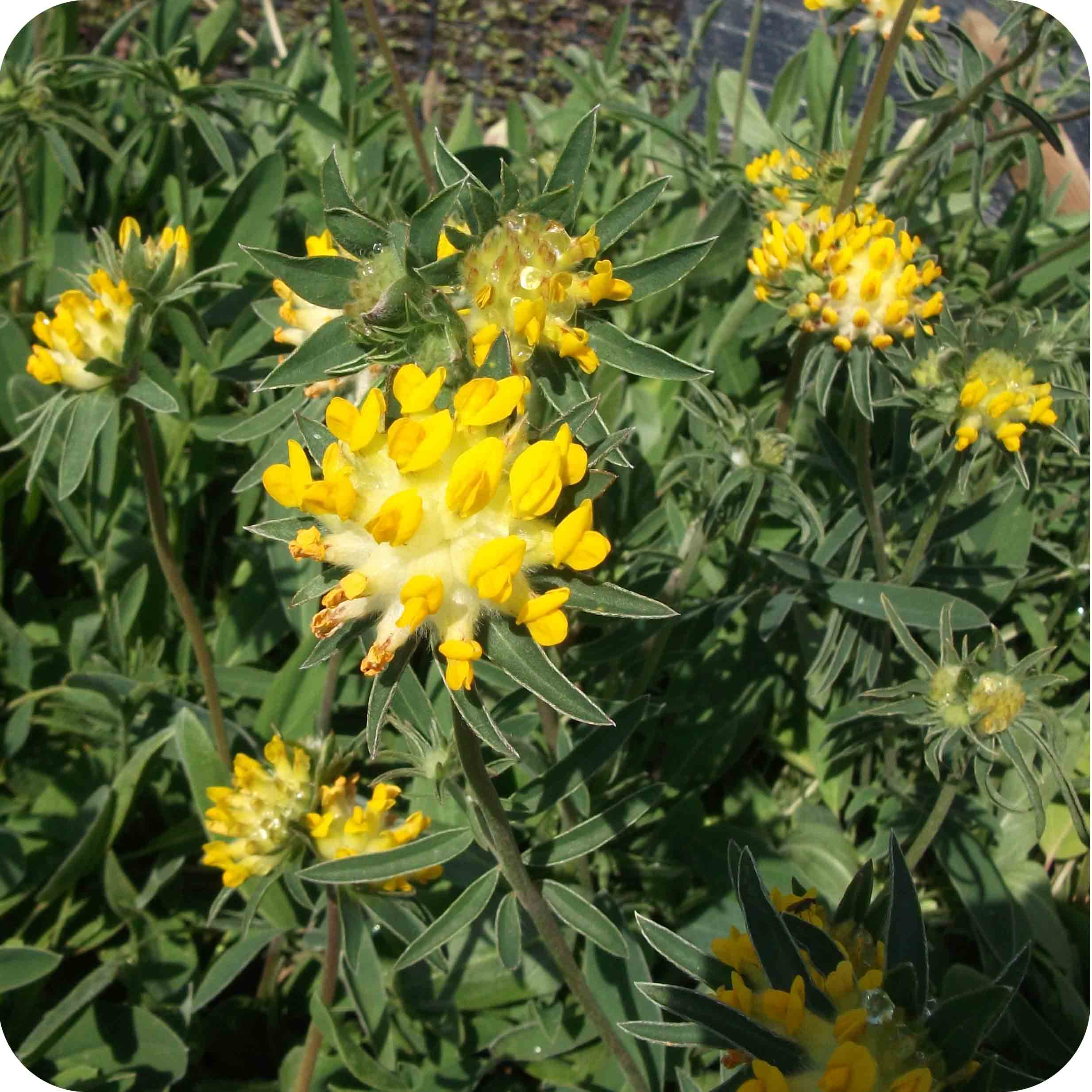 Kidney Vetch (Anthyllis vulneraria) plug plants