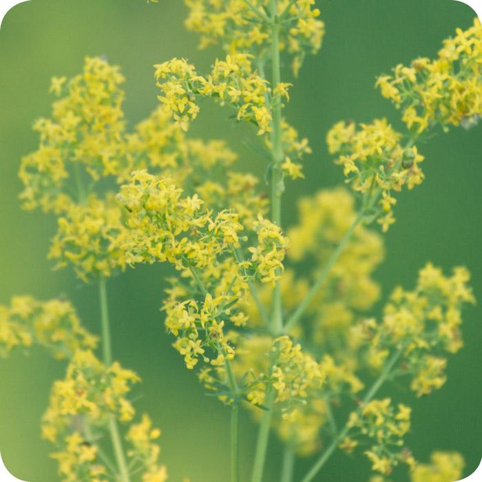 Lady's Bedstraw (Galium verum) plug plants