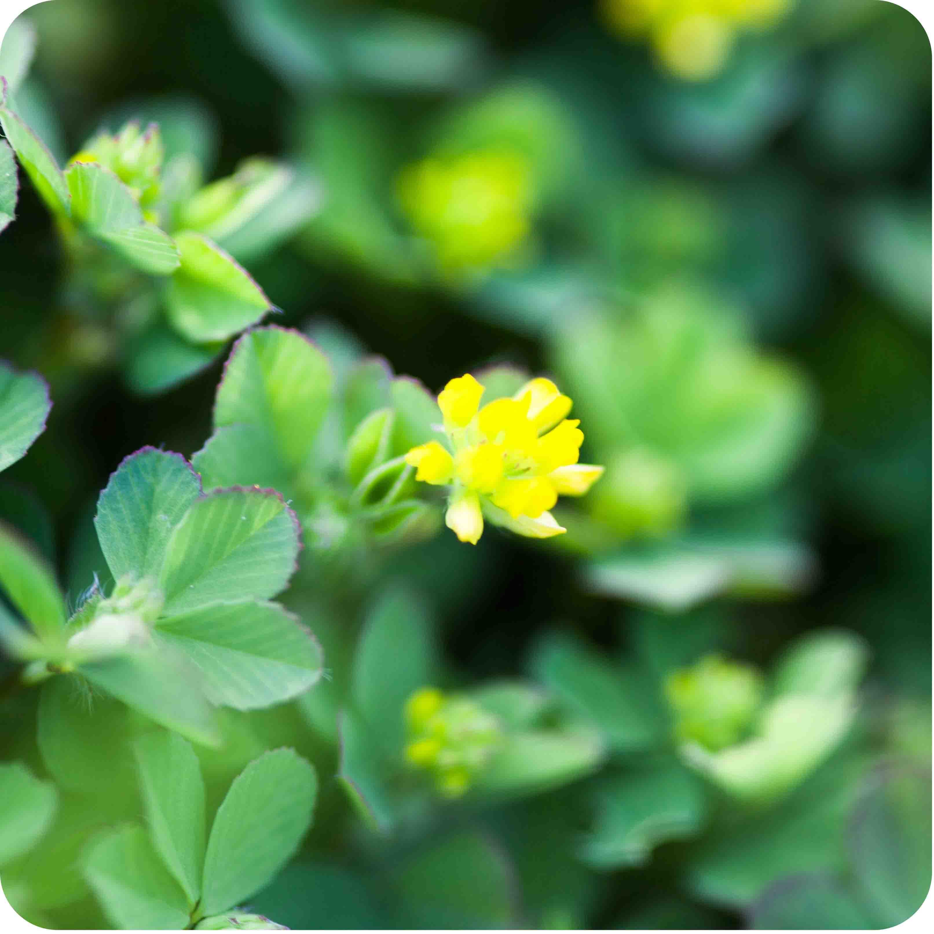 Lesser Trefoil (Trifolium dubium) plug plants
