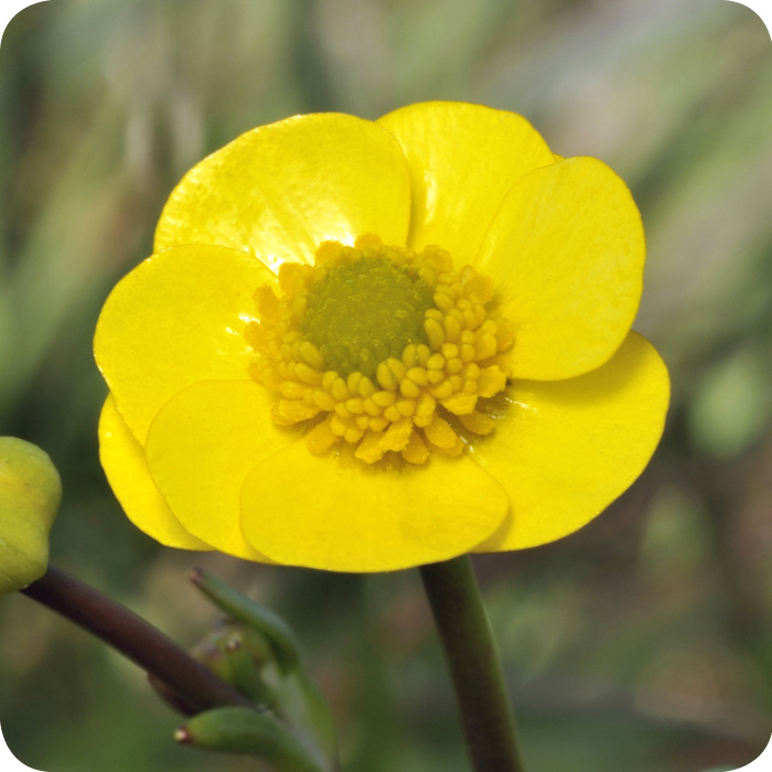Lesser Spearwort (Ranunculus flammula) plug plants