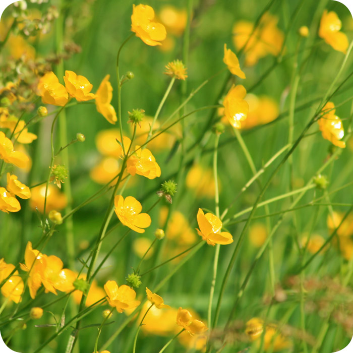 Meadow Buttercup (Ranunculus acris) plug plants