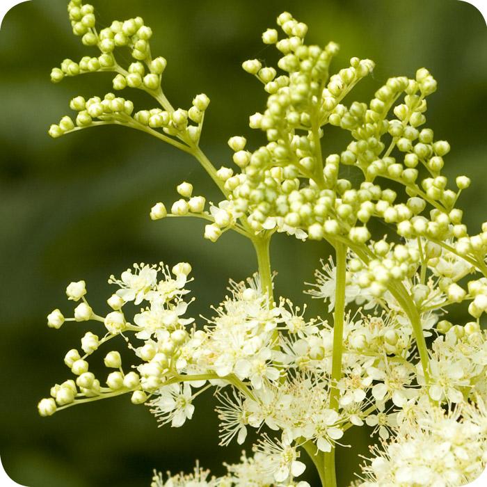 Meadowsweet (Filipendula ulmaria) plug plants