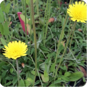 Mouse-ear Hawkweed (Pilosella officinarum) plug plants