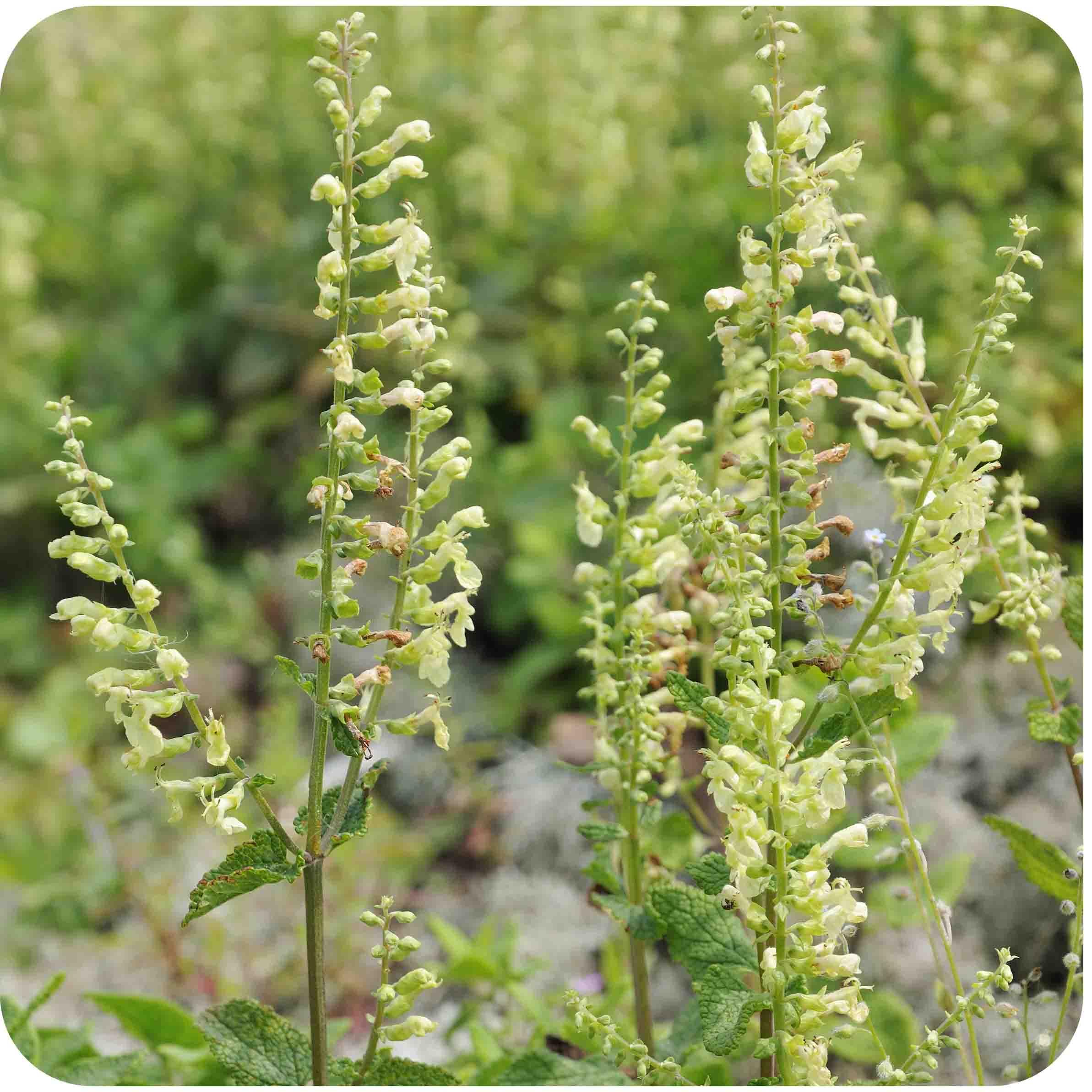 Wood Sage (Teucrium scorodonia) plug plants