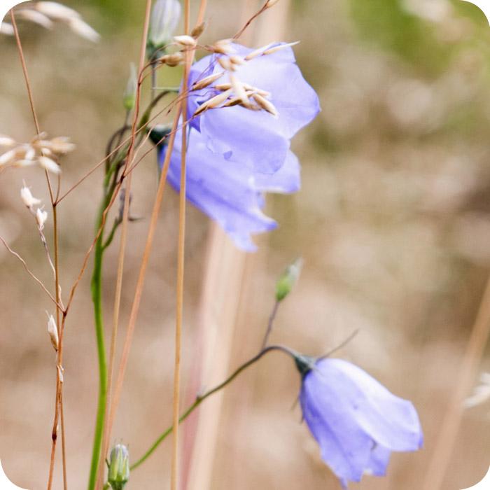 Harebell (Campanula rotundifolia) plug plants