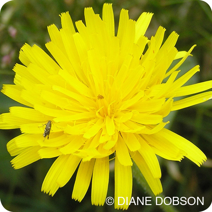 Rough Hawkbit (Leontodon hispidus) plug plants