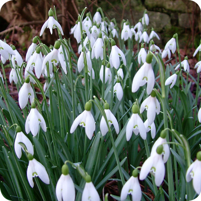 Snowdrop (Galanthus nivalis) IN THE GREEN