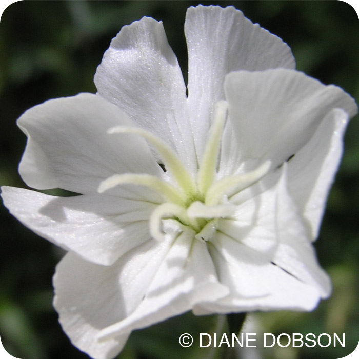 White Campion (Silene latifolia) Large plug plants
