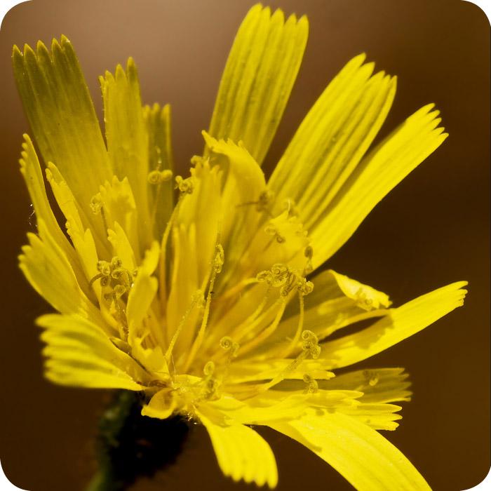 Autumn Hawkbit (Scorzoneroides autumnalis) 7cm Plant Pot