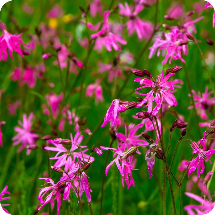Ragged-robin (Silene flos-cuculi) plug plants