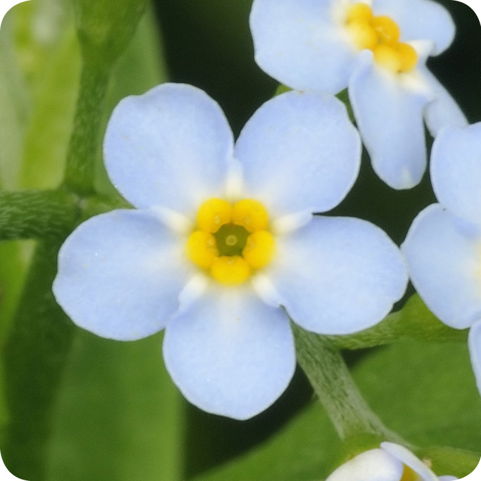 Water Forget-me-not (Myosotis scorpioides) plug plants