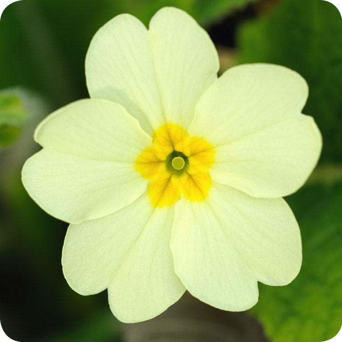 Primrose (Primula vulgaris) Bare Root (2-3 year old plants)