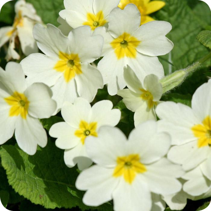 Primrose (Primula vulgaris) 7cm pots